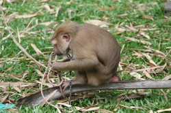 khanom-hill-surroundings-monkey-2